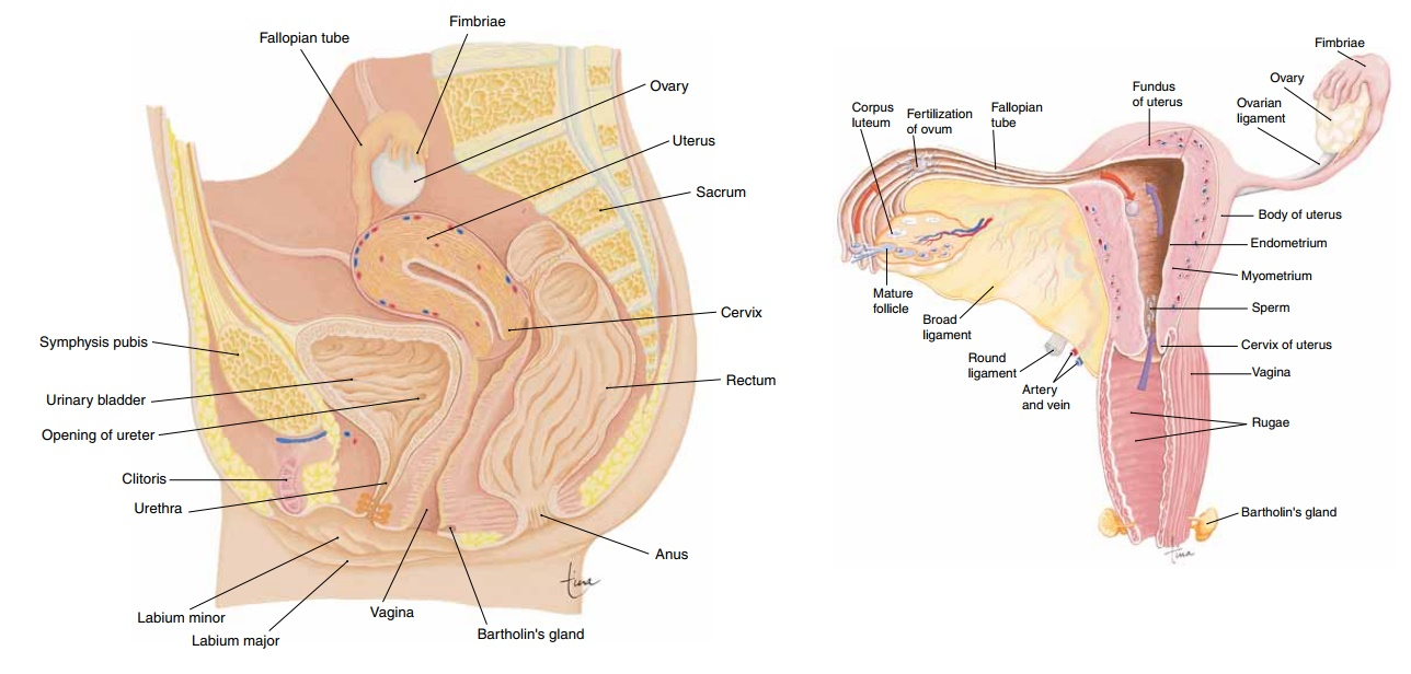 Ovaries - Anatomy and Physiology