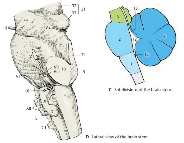 Overview of Brain Stem and Cranial Nerves