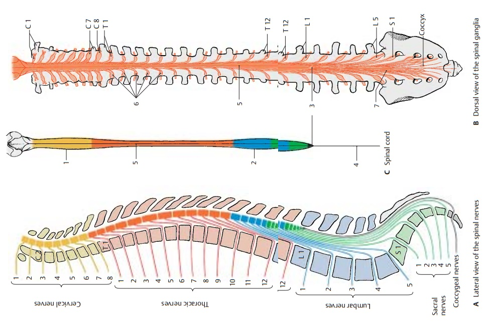 Overview of Spinal Cord and Spinal Nerves