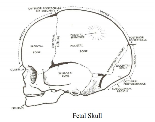 part of the fetal skull  brainkart