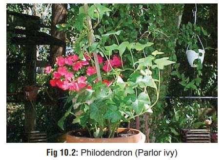 Philodendron - Oropharyngeal Irritant Plants