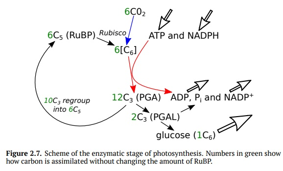 Photosynthesis: Enzymatic Stage