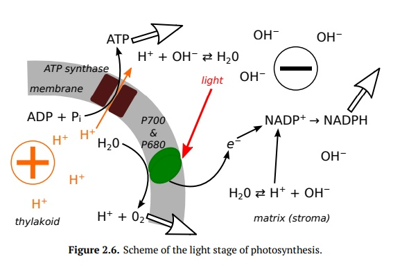 Photosynthesis: Light Stage