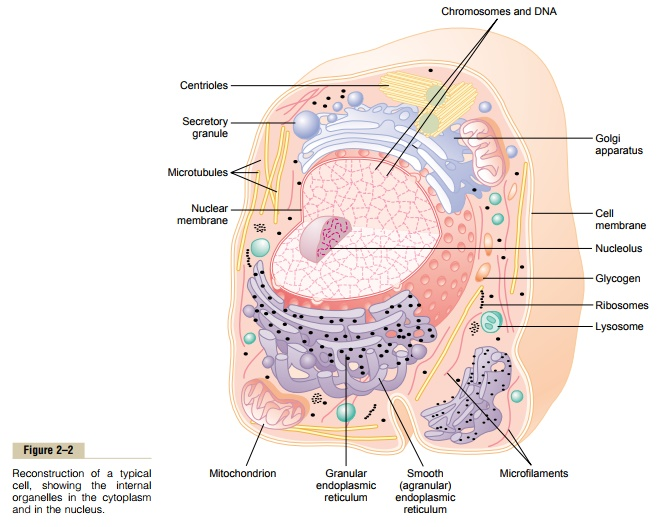 Physical Structure of the Cell