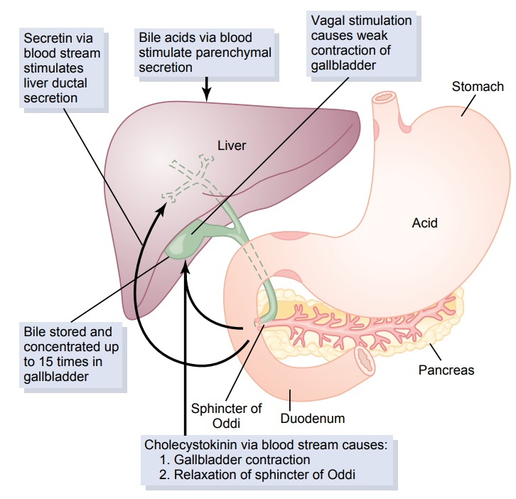 Physiologic Anatomy of Biliary Secretion