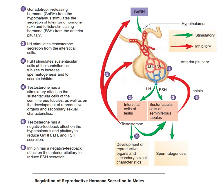 Physiology of Male Reproduction
