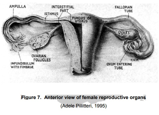 Physiology of the Female Reproductive Organs