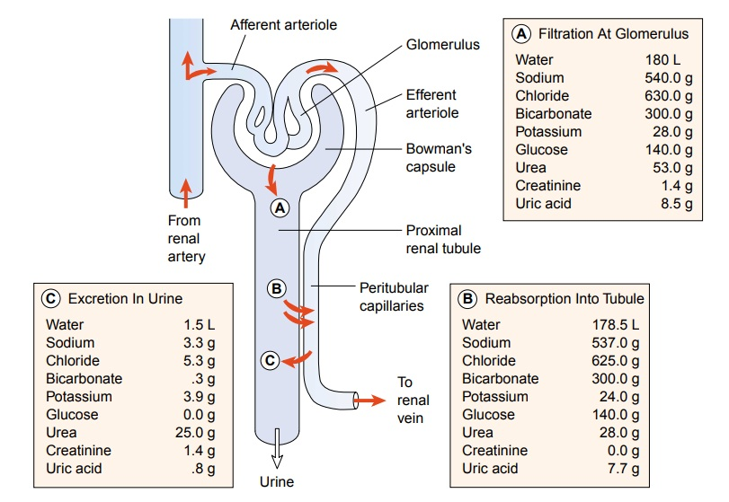 Physiology of the Upper and Lower Urinary Tracts