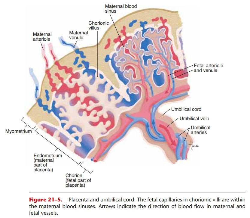 Placenta and Umbilical Cord