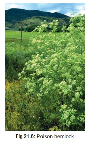 Poison Hemlock - Spinal and Peripheral Neurotoxic Agents