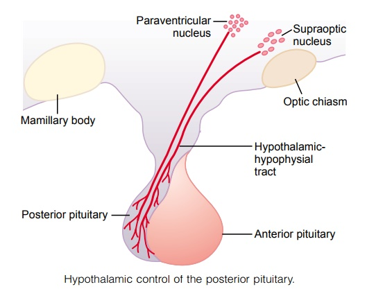 Posterior Pituitary Gland and Its Relation to the Hypothalamus