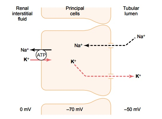 Potassium Secretion by Principal Cells of Late Distal and Cortical Collecting Tubules