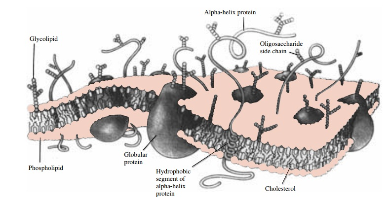 Properties of Biological Membranes that Influence Drug Passage
