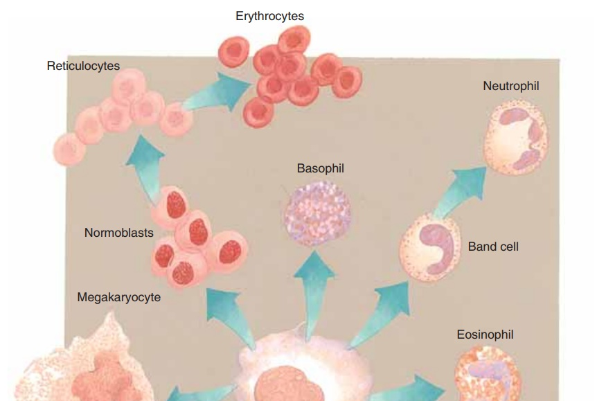 Red Blood Cells: Function, Production and Maturation, Life Span, Blood Types