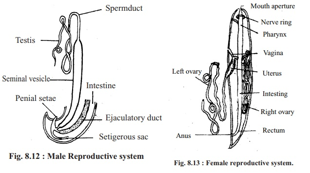 Round Worm: Reproductive System