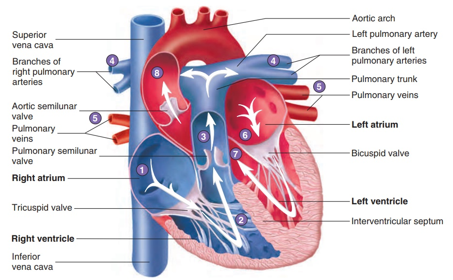 Route of Blood Flow Through the Heart