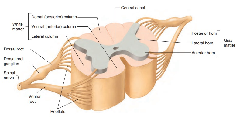 Spinal Cord and Spinal Cord Reflexes