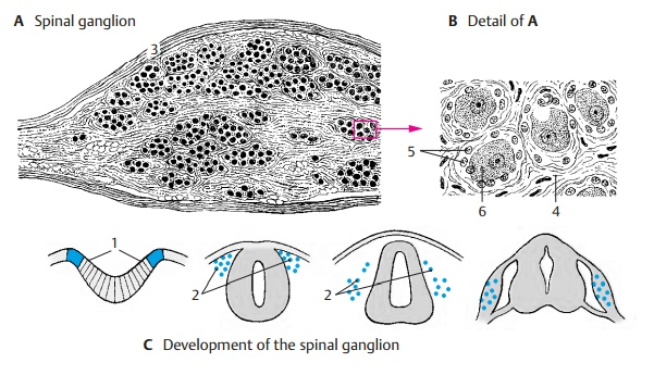 Spinal Ganglion and Posterior Root - Spinal Cord