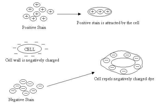 Stains and staining reactions