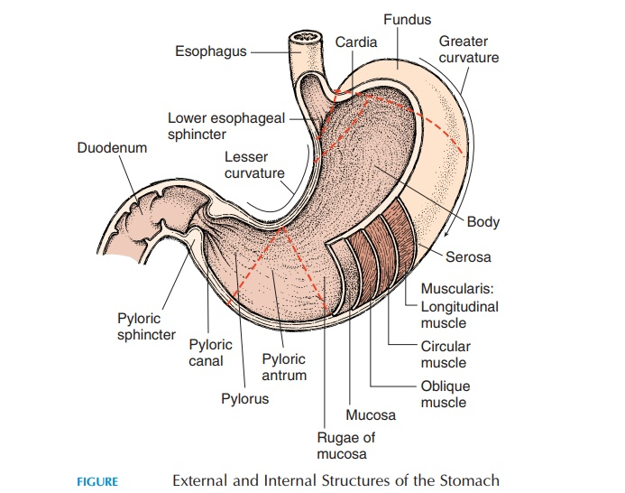 Stomach - Structure and Function of Digestive System