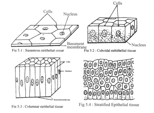 Structural Characteristics, Function and Location of Epithelial Tissue