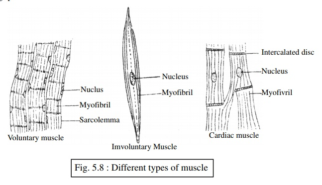 Structural Characteristics, Function and Location of The Muscular Tissue