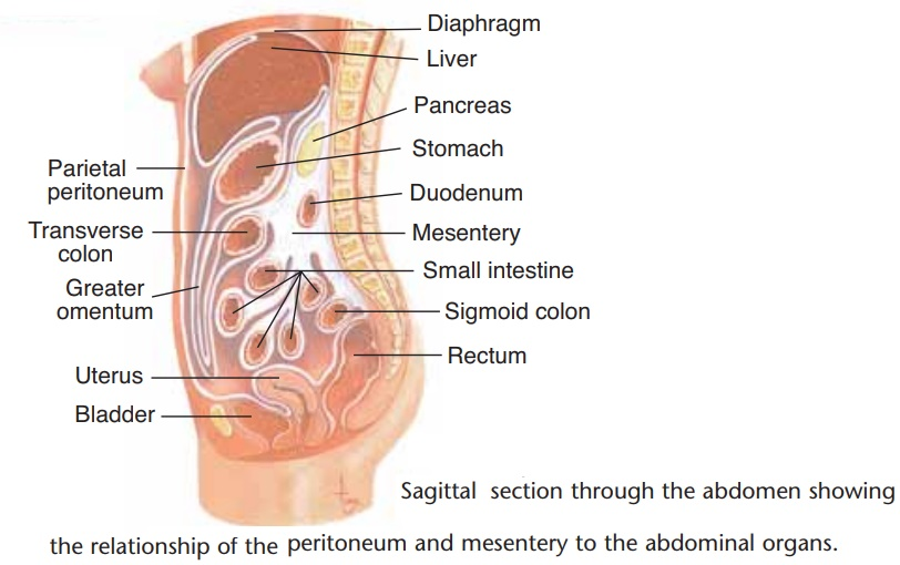 Structural Layers of the Alimentary Tube