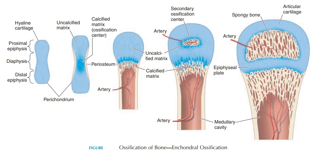 Structure and Formation of Bone