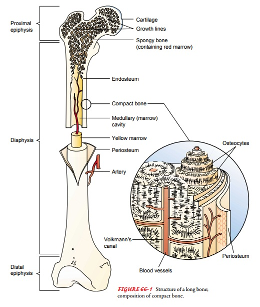 Structure and Function of the Skeletal System