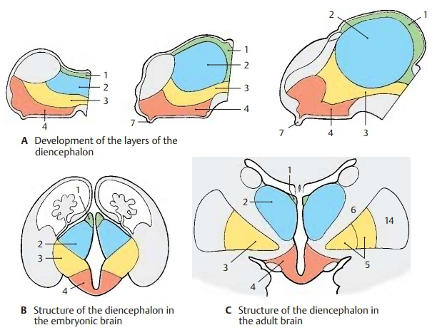 Structure of Diencephalon