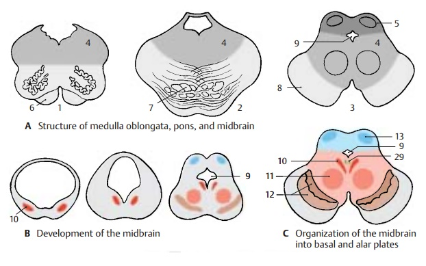Structure of Midbrain