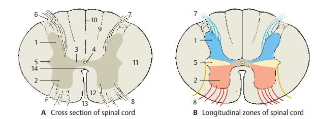 Structure of Spinal Cord