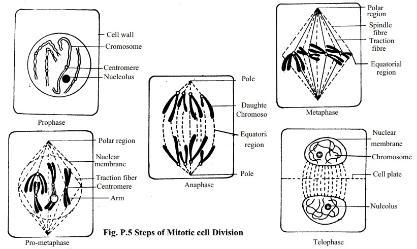 study of the stages of mitosis from permanent slides