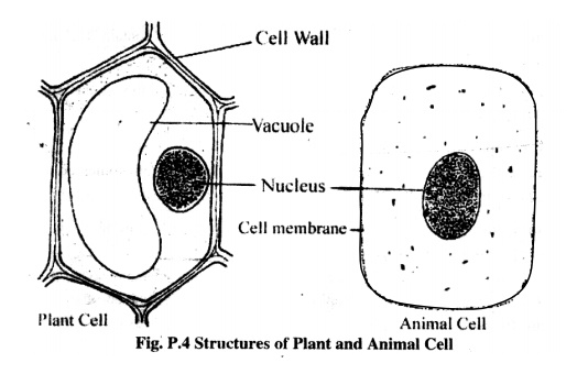 Study of the Structure of Plant and Animal Cells