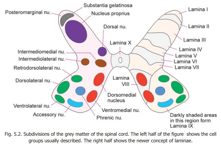 Subdivisions of Grey Matter