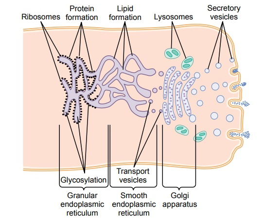Synthesis and Formation of Cellular Structures by Endoplasmic Reticulum and Golgi Apparatus
