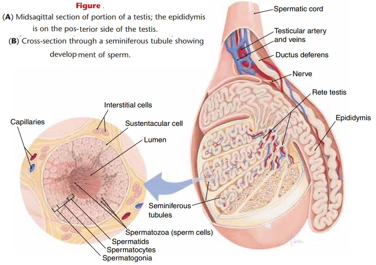 Anatomy of the testes