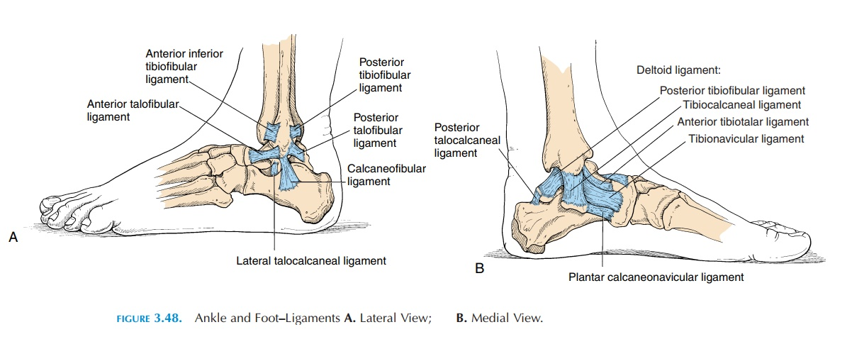 The Ankle Joint and Joints of the Foot