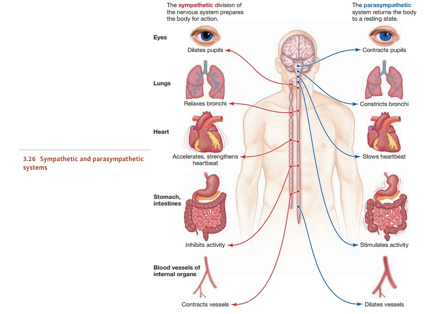The Architecture of the Nervous System