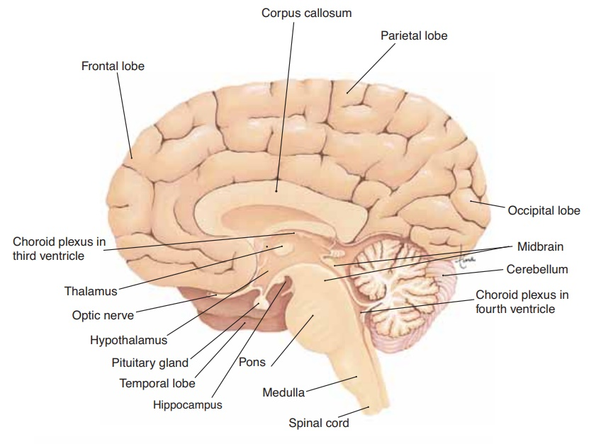 The Brain - Anatomy and Physiology