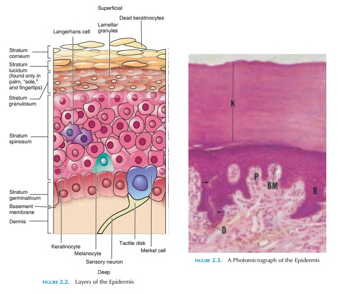 The Epidermis - Structure of the Skin