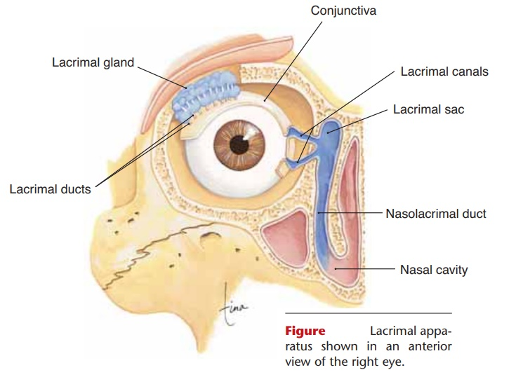 The Eye Structure Anatomy And Physiology Study Material