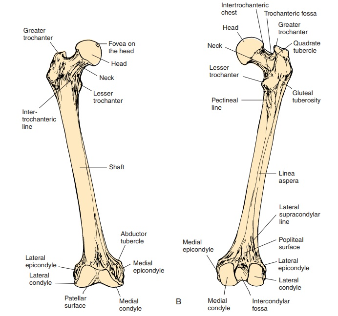 The Femur - Pelvic Girdle