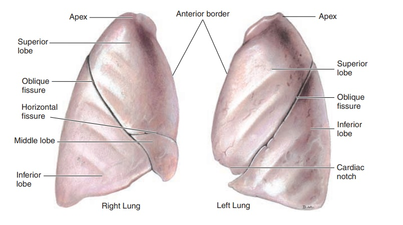The Lungs - Anatomy of the Respiratory System