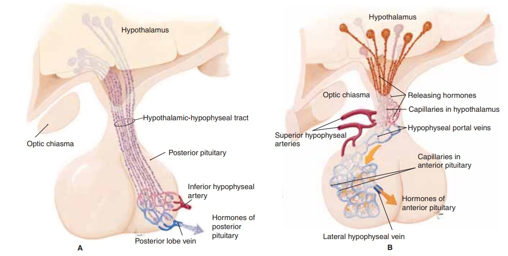 The Pituitary Gland - Anatomy and Physiology