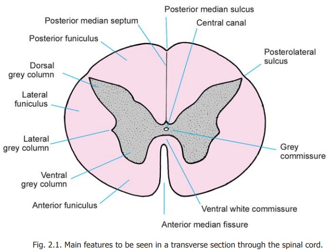The Spinal Cord : Gross Anatomy and Some features of Internal Structure