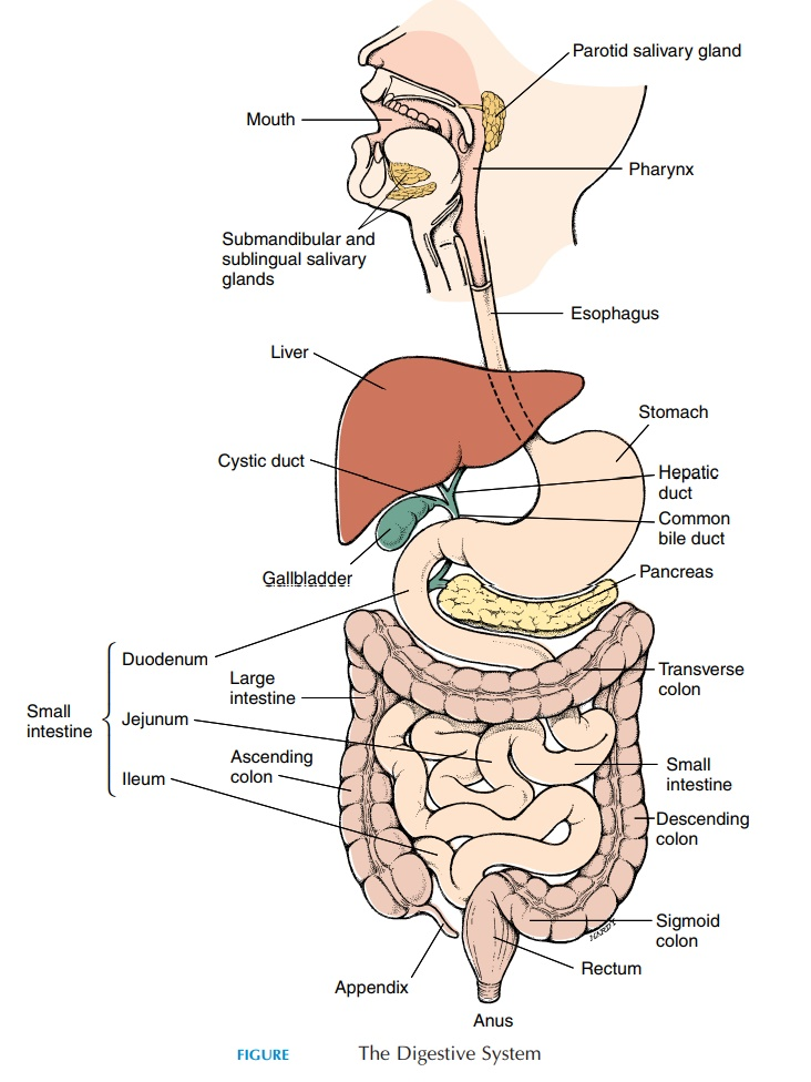 The Structure and Function of Individual Organs of the Digestive System