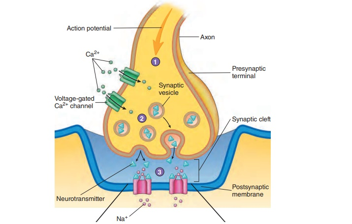 The Synapse - Electrical Signals and Neural Pathways
