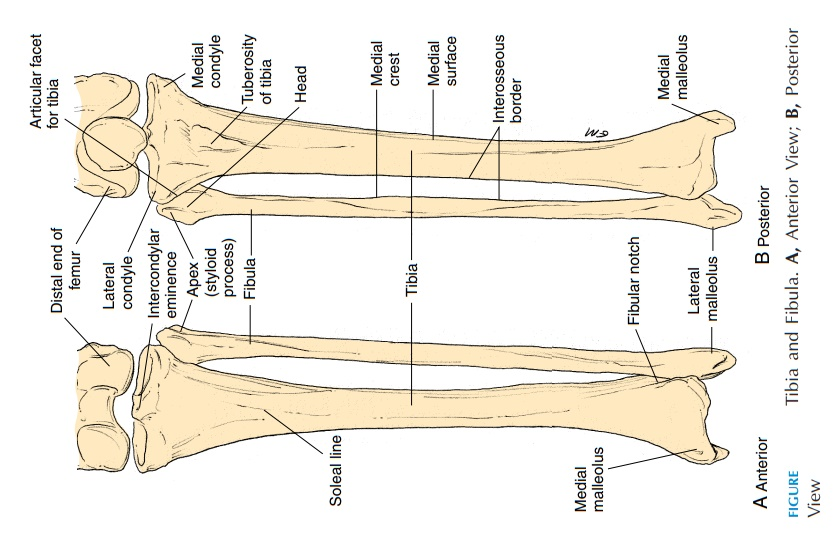 The Tibia - Pelvic Girdle