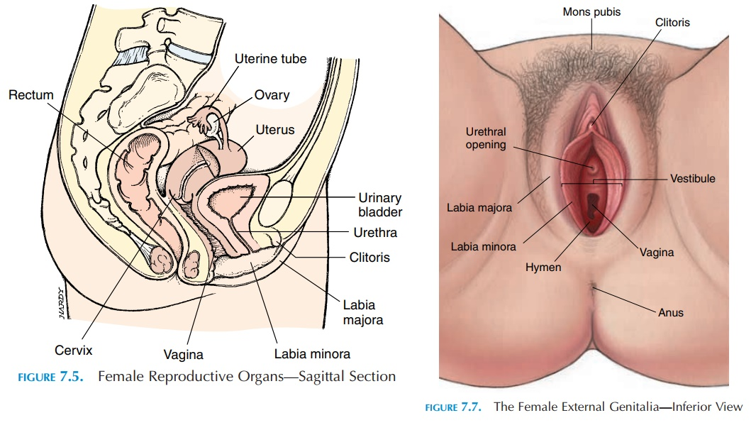 The Vagina Female Reproductive System